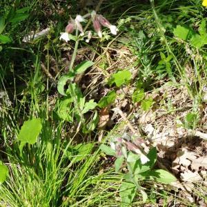 Photographie n°2188173 du taxon Silene latifolia subsp. alba (Mill.) Greuter & Burdet [1982]