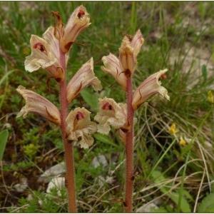Photographie n°2188245 du taxon Orobanche alba Stephan ex Willd.