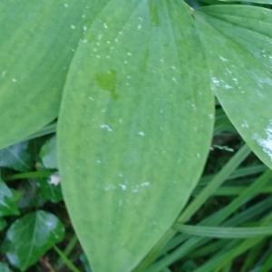 Photographie n°2188366 du taxon Polygonatum multiflorum (L.) All. [1785]