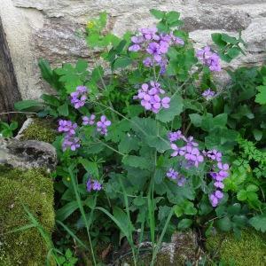 Photographie n°2188714 du taxon Lunaria annua L.