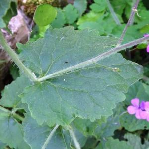 Photographie n°2188716 du taxon Lunaria annua L.