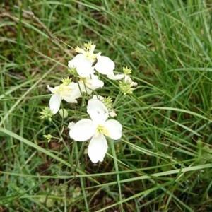 Photographie n°2188905 du taxon Thalictrum tuberosum L. [1753]