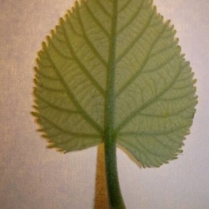 Photographie n°2188916 du taxon Tilia platyphyllos Scop. [1771]