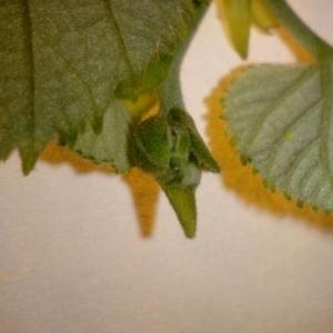 Photographie n°2188919 du taxon Tilia platyphyllos Scop. [1771]
