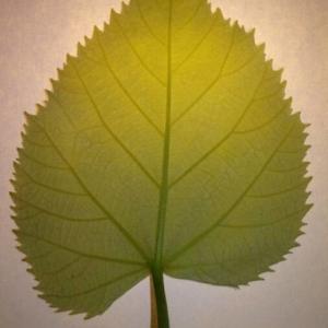 Photographie n°2188920 du taxon Tilia platyphyllos Scop. [1771]