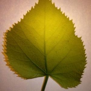 Photographie n°2188921 du taxon Tilia platyphyllos Scop. [1771]