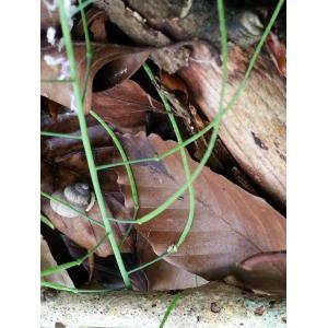 Arabidopsis arenosa (L.) Lawalrée subsp. arenosa (Arabette des sables)