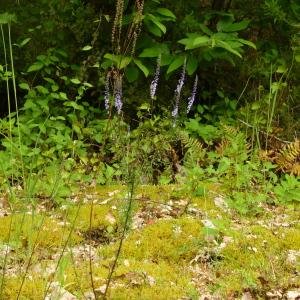 Photographie n°2189255 du taxon Anarrhinum bellidifolium (L.) Willd.