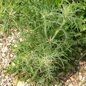 Photographie n°2189414 du taxon Centaurea calcitrapa L. [1753]