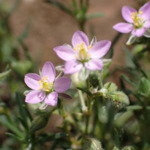 Photographie n°2189675 du taxon Spergula rubra (L.) D.Dietr. [1840]
