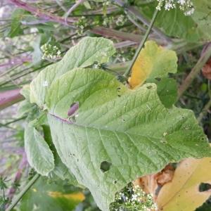 Photographie n°2189804 du taxon Sinapis arvensis L. [1753]