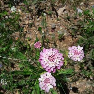 Photographie n°2189828 du taxon Iberis amara L. [1753]