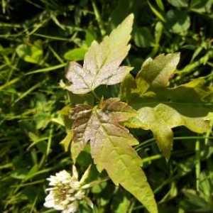 Photographie n°2190006 du taxon Acer sp.