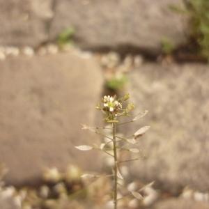 Photographie n°2190031 du taxon Capsella bursa-pastoris (L.) Medik. [1792]