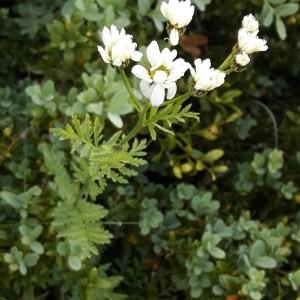 Photographie n°2190121 du taxon Tanacetum corymbosum (L.) Sch.Bip. [1844]