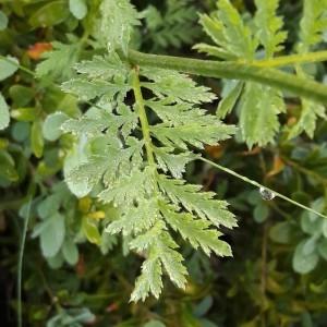 Photographie n°2190122 du taxon Tanacetum corymbosum (L.) Sch.Bip. [1844]