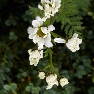 Photographie n°2190123 du taxon Tanacetum corymbosum (L.) Sch.Bip. [1844]