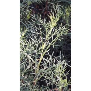 Artemisia sp. [1753]