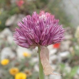 - Allium acutiflorum Loisel. [1809]