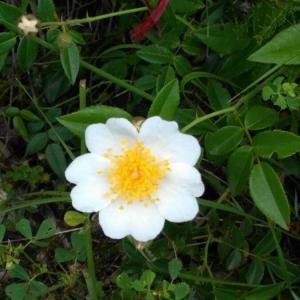 Photographie n°2190638 du taxon Rosa arvensis Huds. [1762]