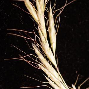 Helictochloa bromoides (Gouan) Romero Zarco (Avoine faux brome)