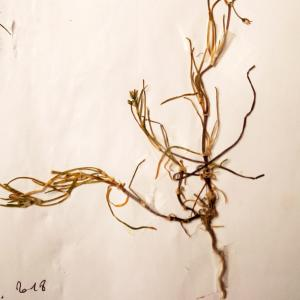 Photographie n°2190852 du taxon Spergularia salina J.Presl & C.Presl [1819]