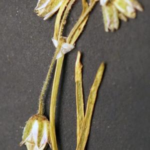 Photographie n°2190857 du taxon Spergularia salina J.Presl & C.Presl [1819]