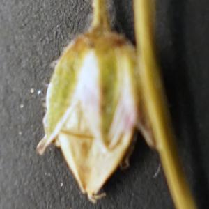 Photographie n°2190858 du taxon Spergularia salina J.Presl & C.Presl [1819]