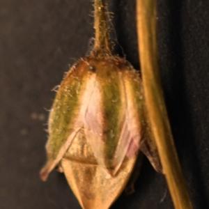 Photographie n°2190862 du taxon Spergularia salina J.Presl & C.Presl [1819]
