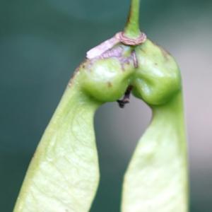 Photographie n°2190874 du taxon Acer monspessulanum L. [1753]