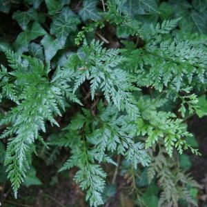 Photographie n°2190891 du taxon Asplenium adiantum-nigrum L.