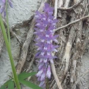 Photographie n°2190898 du taxon Vicia cracca L. [1753]