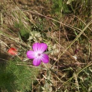 Photographie n°2190975 du taxon Agrostemma githago L. [1753]
