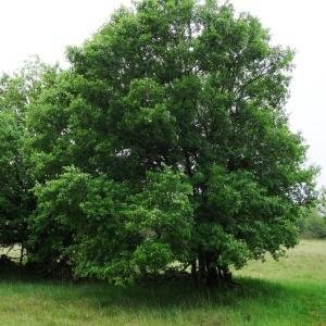 Photographie n°2191371 du taxon Acer monspessulanum L. [1753]