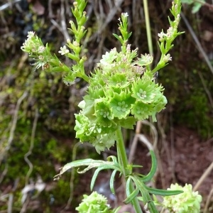 - Centranthus calcitrapae (L.) Dufr.