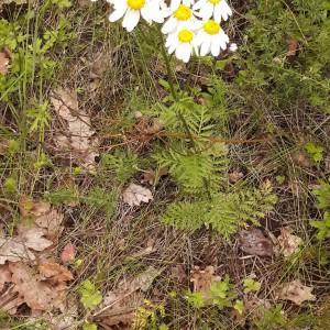 Photographie n°2191515 du taxon Tanacetum corymbosum (L.) Sch.Bip. [1844]