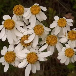 Photographie n°2191516 du taxon Tanacetum corymbosum (L.) Sch.Bip. [1844]
