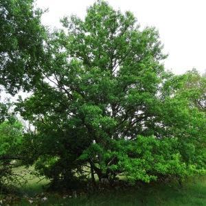 Photographie n°2191549 du taxon Acer monspessulanum L. [1753]
