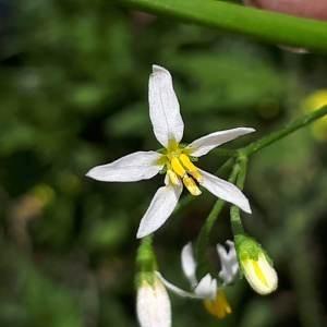 Photographie n°2191555 du taxon Solanum americanum Mill. [1768]