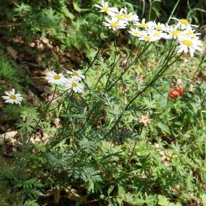 Photographie n°2191742 du taxon Tanacetum corymbosum (L.) Sch.Bip. [1844]