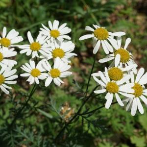 Photographie n°2191743 du taxon Tanacetum corymbosum (L.) Sch.Bip. [1844]