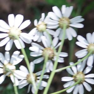 Photographie n°2191745 du taxon Tanacetum corymbosum (L.) Sch.Bip. [1844]