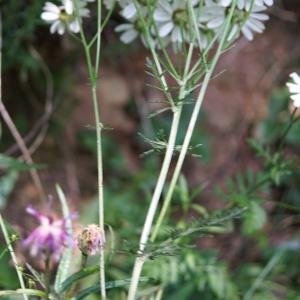 Photographie n°2191747 du taxon Tanacetum corymbosum (L.) Sch.Bip. [1844]
