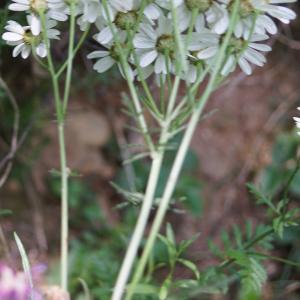 Photographie n°2191748 du taxon Tanacetum corymbosum (L.) Sch.Bip. [1844]