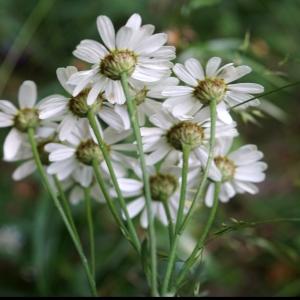 Photographie n°2191751 du taxon Tanacetum corymbosum (L.) Sch.Bip. [1844]
