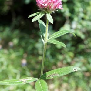 Photographie n°2191771 du taxon Trifolium alpestre L. [1763]