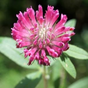 Photographie n°2191773 du taxon Trifolium alpestre L. [1763]
