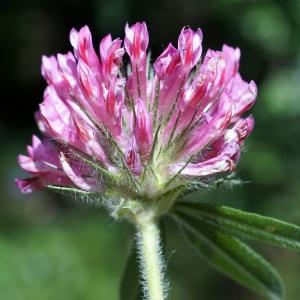 Photographie n°2191777 du taxon Trifolium alpestre L. [1763]