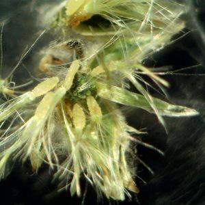 Photographie n°2192190 du taxon Logfia minima (Sm.) Dumort. [1827]