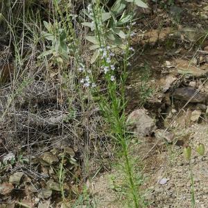 Photographie n°2192430 du taxon Anarrhinum bellidifolium (L.) Willd.
